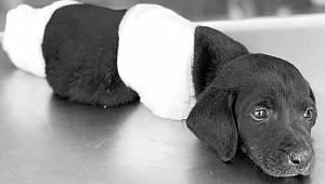 Canilerin ayaklarını kestiği yavru köpek kurtarılamadı