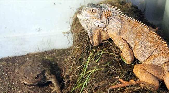 İguana ve kurbağa kardeşliği