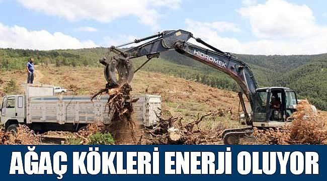 Ağaç kökleri enerjiye dönüşüyor